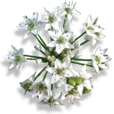Identify edible flowers guide to edible flowers greens of devon chive garlic chives mightylinksfo
