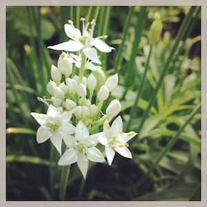garlic chives edible