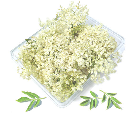 fresh elderflower blossom
